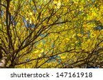 Trees With Yellow Leaves In Th...
