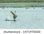 A Migratory Indian Cormorant...