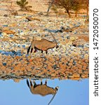 A Lone Male Gemsbok Oryx walking next to a waterhole in Etosha National Park with a good reflection in the waterhole, Namibia
