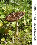 The Fungus Amanita Pantherina