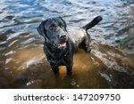 Labrador Retriever Standing In...