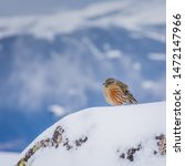 Small photo of Alpine Accentor (Prunella collaris) resting on a snow covered rock.