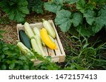 picking freshest squash and... | Shutterstock . vector #1472157413