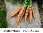 fresh carrots picked from... | Shutterstock . vector #1472157569
