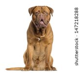 Dogue De Bordeaux Sitting And...