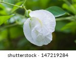 White Butterfly Pea Flower
