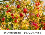 apples red ripe fruits on... | Shutterstock . vector #1472297456