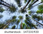 Tall Pine Trees In The Forest...