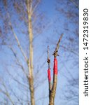 Small photo of Cherry tree ennobled with new branch