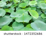 Lotus Buds That Thrive In The...