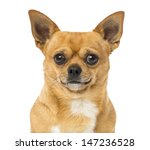 close up of a chihuahua ... | Shutterstock . vector #147236528
