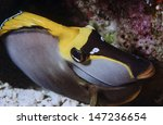 Small photo of SUDAN, Red Sea, U.W. photo, Black Surgeonfish (Acanthurus gahhm)
