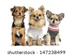Stock photo group of dressed up chihuahuas isolated on white 147238499