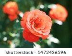 Stock photo rose flower bloom in roses garden 1472436596