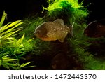 Freshwater aquarium fish  the...
