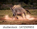 A Plains Zebra  Formally Known...