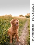 Stock photo cute dog retriever puppy boy 1472526026