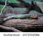 Caiman Lizard Resting On A Tree