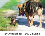 Stock photo dog walking with little kitten on the road 147256556