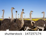 group of ostriches along the... | Shutterstock . vector #147257174