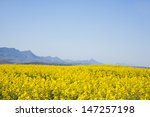 rapeseed fields along the... | Shutterstock . vector #147257198