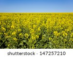 close up of rapeseed plants... | Shutterstock . vector #147257210