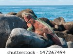 A Galapagos Marine Iguana...