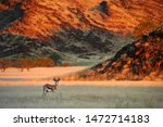 Beautiful Springbok  Antidorca...