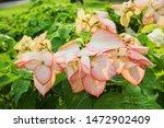 Ping Flower In Garden Beautifu...