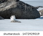 Stock photo winter hare runs on snowy ice 1472929019