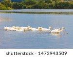 White Ducks Float Along The...