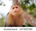 Head Of White Faced Capuchin...