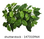 coffee tree young leaf | Shutterstock . vector #147310964