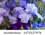 Beautiful Bearded Irises In Th...