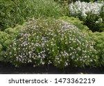 Summer Flowering Pale Purple...
