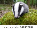 young female of european badger ... | Shutterstock . vector #147339734