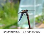 Stock photo dragonfly in the garden broad bodied chaser dragonfly libellula depressa flat bodied broad 1473460409