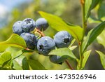 Garden Blueberries Delicious ...
