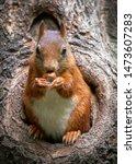 Eurasian Red Squirrel ...