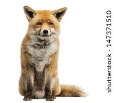 red fox  vulpes vulpes  sitting ... | Shutterstock . vector #147371510
