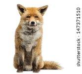 Red Fox  Vulpes Vulpes  Sittin...