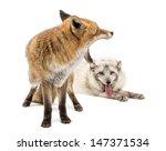 Red Fox  Vulpes Vulpes  Yawnin...