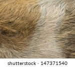 Close Up Of A Domestic Pig's...