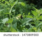 Bee And Yellow Tomato Flowers...