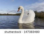 Mute Swan  Cygnus Olor  Single...