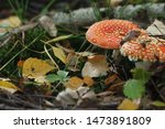 Two Amanita With Red Hats Among ...