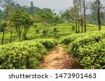 Tea Plantations In The...