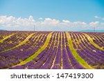 lavender flower blooming... | Shutterstock . vector #147419300