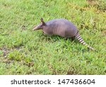 Nine Banded Armadillo Sniffing