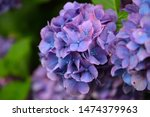 Hydrangea Flower  Hydrangea...